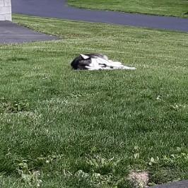 Huskies 4 life